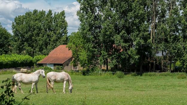 牧草地で放牧している白い馬