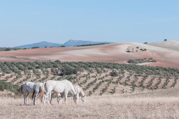 白い馬の放牧