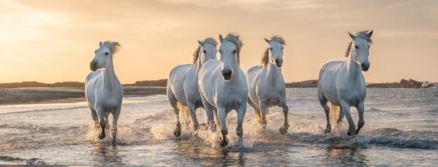 カマルグ、フランスの白い馬。