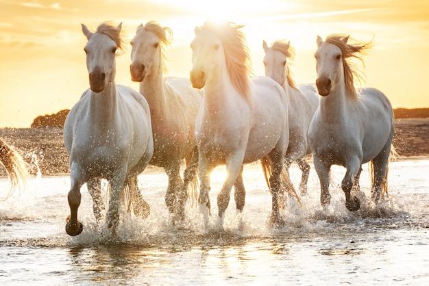 ビーチで白い馬