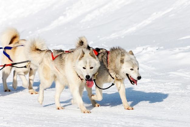 겨울에 알파인 산에서 흰색 허스키 개