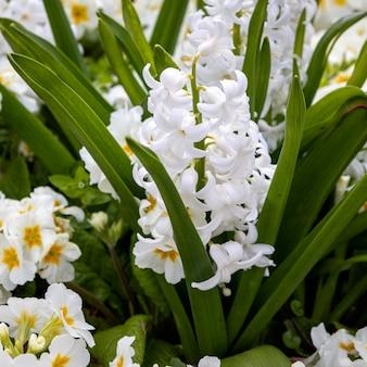 이스트 그린스테드의 화단에 피는 흰색 히아신스 꽃