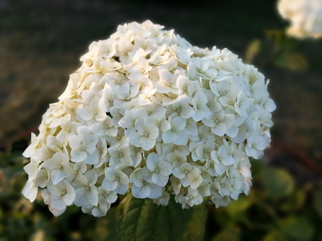 White hydrangea blossoms in a spring garden