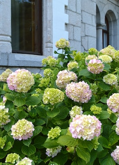 White hydrangea bush blooms under the arched windows of an old stone house