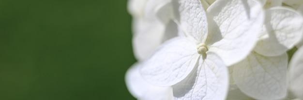 満開の白いあじさいの花がズームインしました。あじさいのつぼみと花びらがクローズアップ。バナー