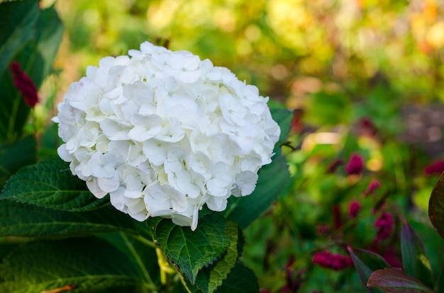 White hydrangea in full bloom in vandusen botanical gardens, vancouver, bc, canada