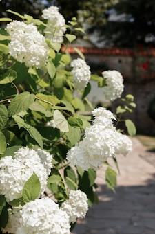 庭の夏の背景の白いアジサイ