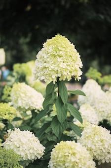 White hydrangea macrophylla background of the garden