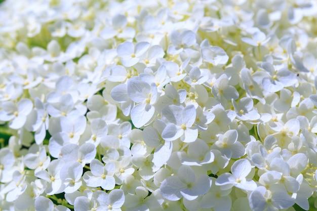 Белая гортензия метельчатая цветок