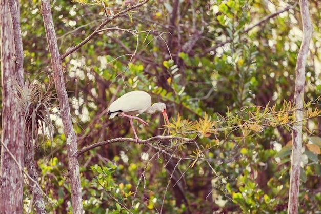 얕은 연못에 흰 따오기-플로리다