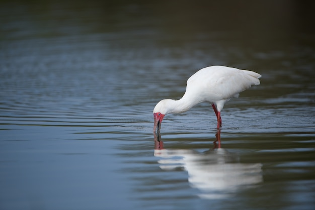 White ibis with a red bill drinking water from a lake