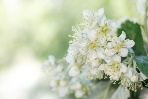 Белые соцветия рябины sorbus intermedia крупным планом.