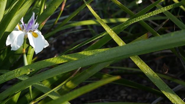 Цветок белого ириса, садоводство в калифорнии, сша. нежное цветение весеннего утреннего сада, капли свежей росы на лепестках. весенняя флора в мягком фокусе. природные ботанические крупным планом фон