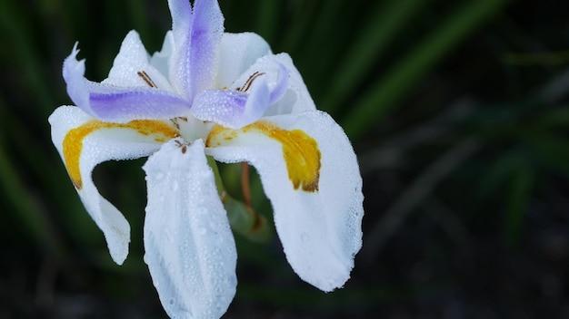 Цветок белого ириса, садоводство в калифорнии, сша. нежное цветение весеннего утреннего сада, капли свежей росы на лепестках. весенняя флора в мягком фокусе. естественный ботанический конец вверх фон.