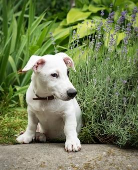 草の上の公園で白いジャックラッセルテリア犬