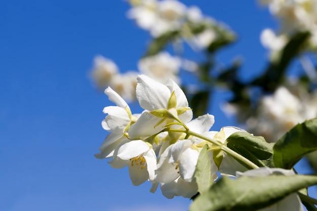 Цветущий летом жасмин белый, цветущие растения для украшения территории
