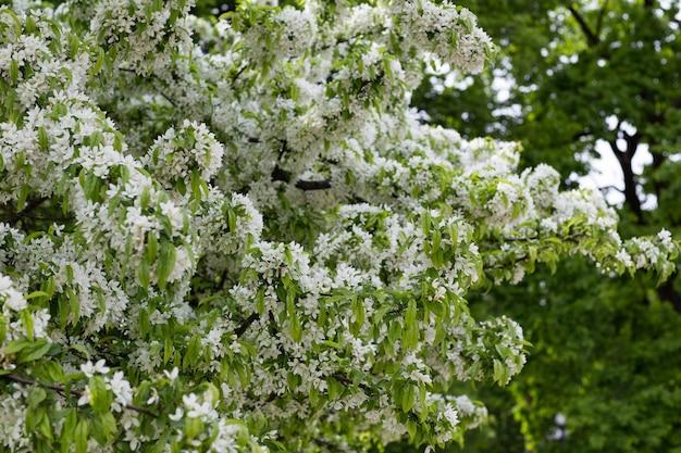 都市公園に白いジャスミンの茂みが咲く