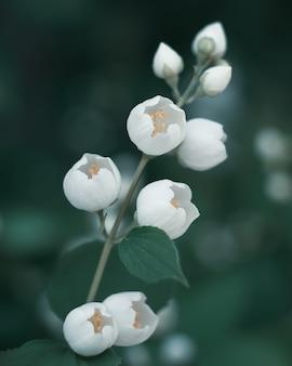 枝の白いジャスミンの花のつぼみがクローズアップ