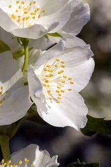 Белые цветы жасмина в весенний сезон цветы жасмина закрываются и разрастаются, чтобы украсить улицы в городе цветущие растения с приятными запахами