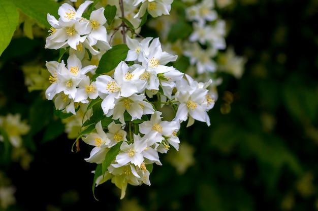 暗いぼやけた背景に白いジャスミンの花_