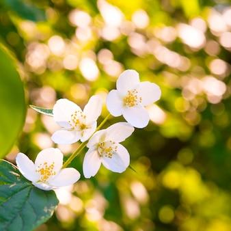 明るく輝く太陽の上に緑の葉を持つ白いジャスミンの花