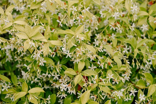 White jasmine flowers with green leaves. thick bushes.
