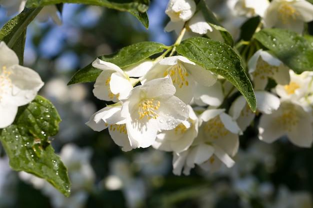 白いジャスミンの花