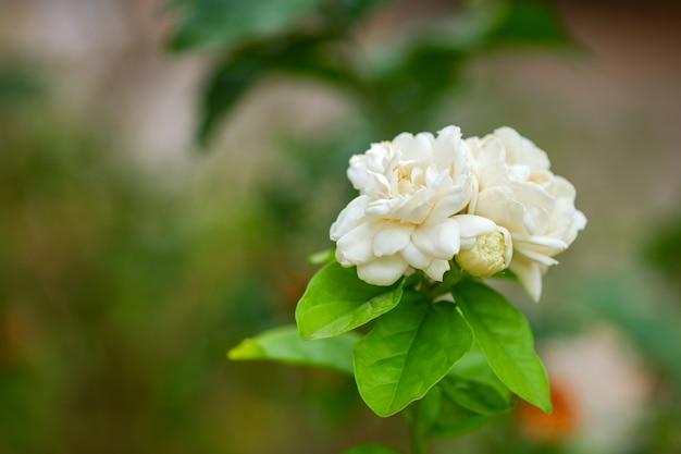 흐릿한 자연 배경 꽃이 있는 흰색 재스민은 태국에서 어머니의 날을 상징합니다