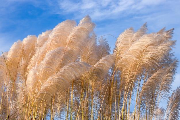 밝은 햇빛 아래 흰색 칸스 잔디 또는 사카룸 스폰타네움 꽃이 닫힙니다.
