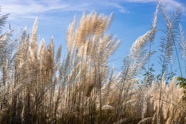 맑고 푸른 하늘 아래 흰색 카시 식물 또는 캣킨 꽃이 가까이서 볼 수 있습니다.