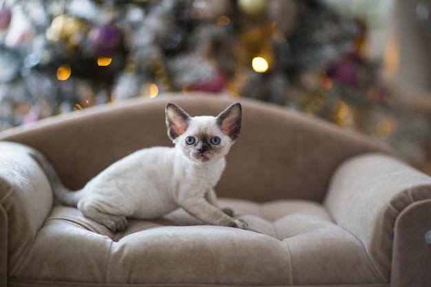 青い目をした白い子猫デボンレックスはソファに座っています