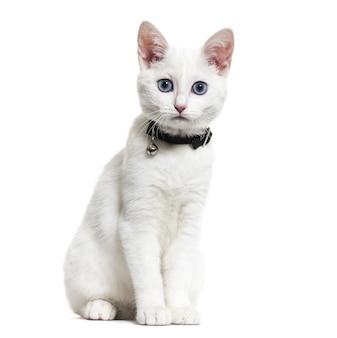 벨 칼라를 착용하고 카메라를보고있는 흰 고양이 혼합 품종 고양이