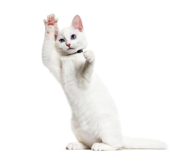 Белый котенок смешанной породы в ошейнике-колокольчике стоит на задних лапах