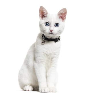 White kitten mixed-breed cat wearing a bell collar and looking at the camera