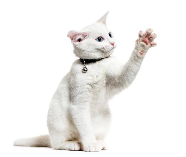 White kitten mixed-breed cat wearing a bell collar and playing