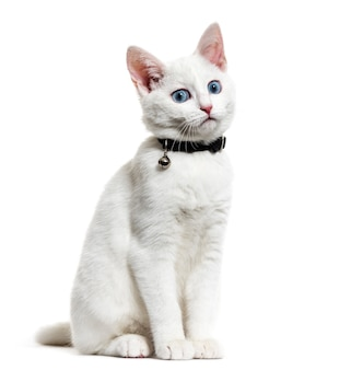 White kitten mixed-breed cat wearing a bell collar