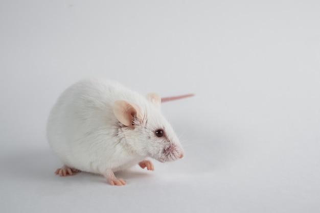 Белая лабораторная крыса, изолированная на белой поверхности