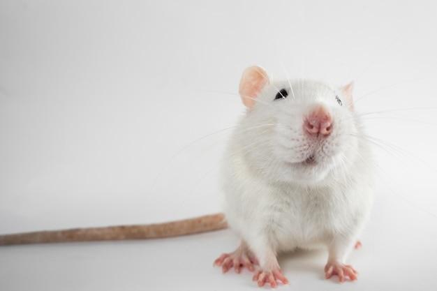 Белая лабораторная крыса смотрит в камеру, изолированную на белой поверхности