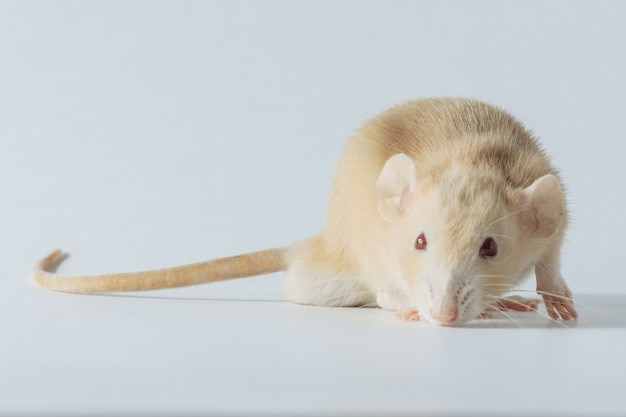 White laboratory rat mouse with red eyes isolated on white background