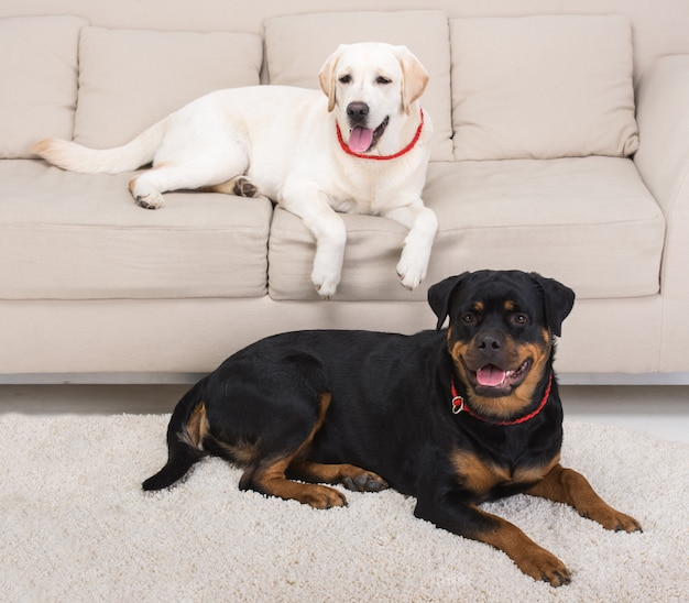White labrador lying on couch and rottweiler on the floor.