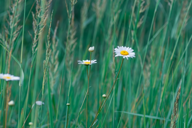 White large daisy flowers on green grass.