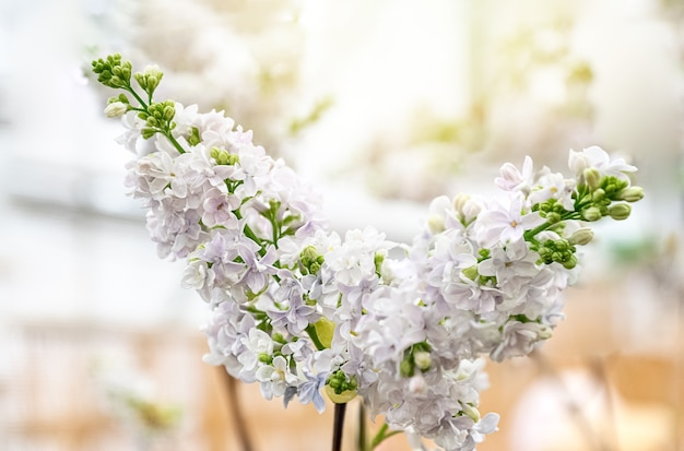 White lilac blooming in spring