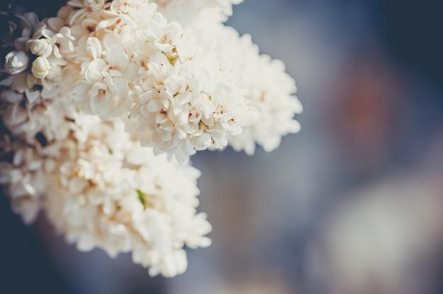 White lilac close-up