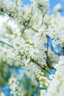 푸른 하늘에 흰색 라일락 꽃 지점