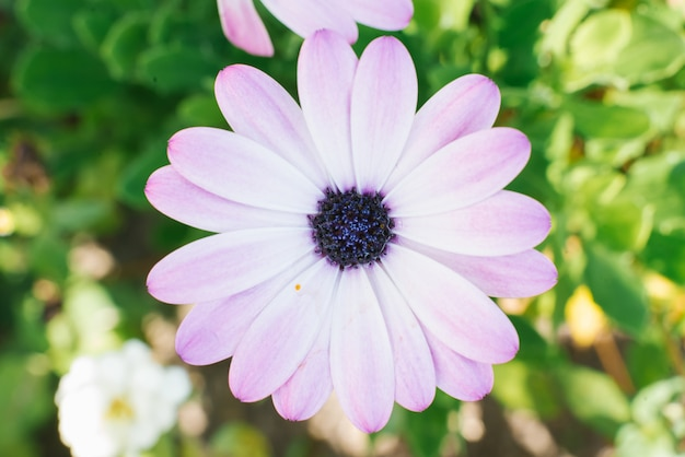 White lilac flower of osteospermum. top view, close-up