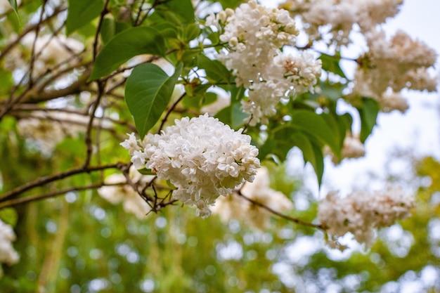 青い空を背景に白いライラックの花