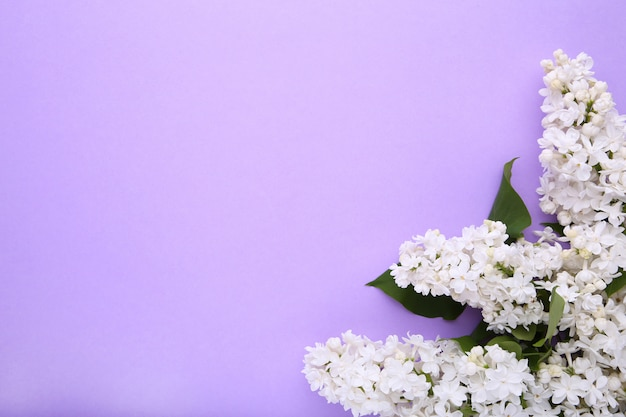 White lilac flowers branch on purple  with copyspace