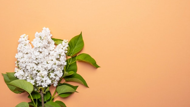 White lilac flowers on color background. spring is coming