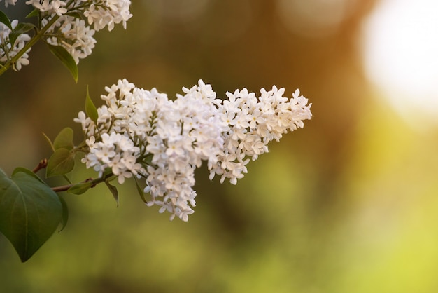 White lilac flowers macro background