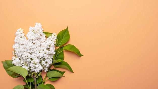 색상 배경에 흰색 라일락 꽃입니다. 봄이 와요